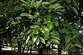 Carnarvoniaaraliifoliarbg.JPG
