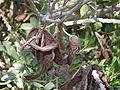 Carob ripe fruit.JPG