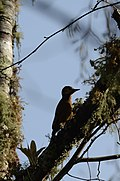 Carpintero Café, Smoky Brown Woodpecker, Veniliornis fumigatus (11713774233).jpg