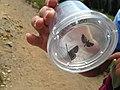 Cascades Butterfly Survey (21013911058).jpg