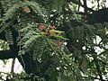 Cassia roxburghii (1094285641).jpg