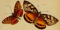 Castnia clitarcha, Westwood 1877.png