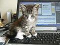 Cat on a laptop2.jpg