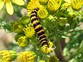 Caterpillar of a Cinnabar Moth (Tyria jacobaeae) on Ragwort (Jacobaea vulgaris), Arnhem, the Netherlands.jpg