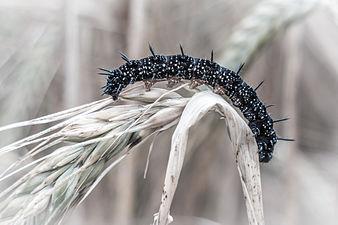 Caterpillar of a peacock butterfly.jpg