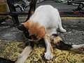 Cats in t1302Cats in the Philippines 11.jpg