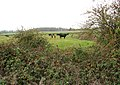 Cattle pasture north-east of Kirstead Hall - geograph.org.uk - 1570695.jpg