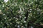Catunaregam spinosa (Mountain Pomegranate) W IMG 9379.jpg