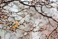 Cedar waxwing (25820605732).jpg