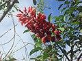Ceibo-flor nacional de argentina - panoramio.jpg