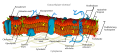 Cell membrane detailed diagram nl.svg