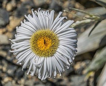 Flower of Celmisia semicordata in Dunedin Botanic Garden, Dunedin, New Zealand