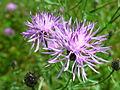 Centaurea maculosa 7-jgreenlee (5097810128).jpg