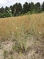 Centaurea stoebe sl5.jpg