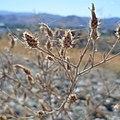 Centaurea stoebe ssp. micranthos 1.jpg