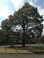 Centennial Tree of Osaka City.jpg
