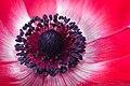Center of red anemone (27684946297).jpg