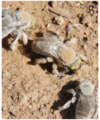 Centris pallida males looking for females.PNG
