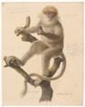 Cephalopterus pallidus - 1749-1842 - Print - Iconographia Zoologica - Special Collections University of Amsterdam - UBA01 IZA1000055.tif