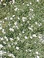 Cerastium tomentosum columnae1.jpg