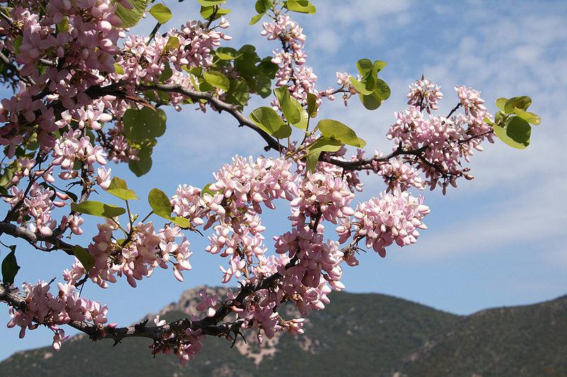 les fleurs de l'arbre de judé