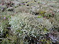 Cetraria islandica 1.9 R.jpg