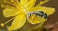 Ceylalictus variegatus female 1 (cropped).jpg