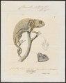 Chamaeleo vulgaris - 1700-1880 - Print - Iconographia Zoologica - Special Collections University of Amsterdam - UBA01 IZ12300007.tif