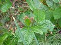 Chamaemespilus alpinus (aka Sorbus chamaemespilus) - Flickr - peganum.jpg