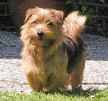 Small Breed Dog With Coarse Water Resistant Fur