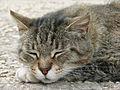 Chat dans le jardin de la villa dEste (Tivoli) (5873070580).jpg