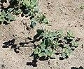 Chenopodium vulvaria plant (3).JPG