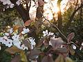 Cherry blossom (9800223894).jpg