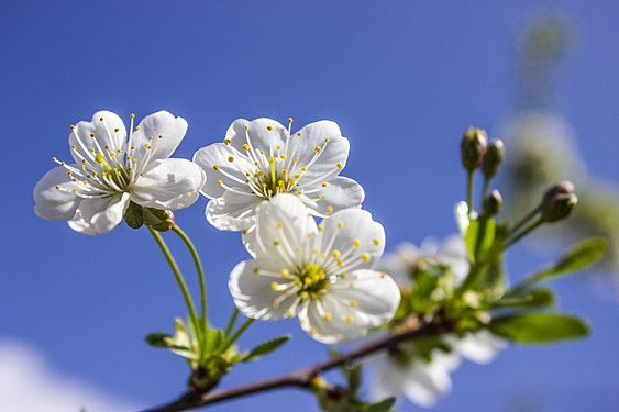 Cherry flowers in Yerevan 02.jpg