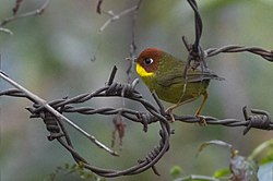 Chestnut-headed Tesia Khangchendzonga Biosphere Reserve West Sikkim India 16.02.2016.jpg