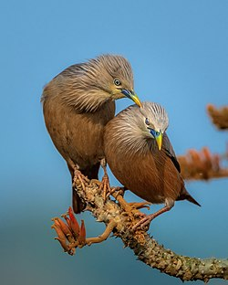 Chestnut-tailed Starling (কাঠ শালিক).jpg