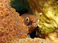Chestnutmoray1.jpg