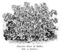 Chicorée frisée de Ruffec Vilmorin-Andrieux 1904.png