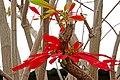 Chile-03187 - Poinsettia Tree (49072459233).jpg