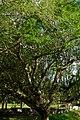 Chiminango (Pithecellobium dulce) (14680203856).jpg