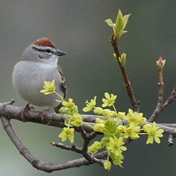 Chipping Sparrow (5644623688).jpg