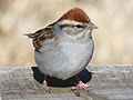 Chipping Sparrow RWD2.jpg