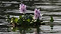 Chitwan-10-Wasserlilie-2013-gje.jpg