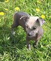 Chiwawa dog.JPG