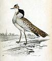 Chlamydotis macqueenii 1856.jpg