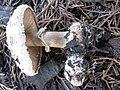 Chlorophyllumbrunneum3.jpg