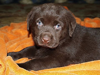 Labrador Retriever - The most common places where pigmentation is visible are the nose, lips, gums, and the rims of the eyes.