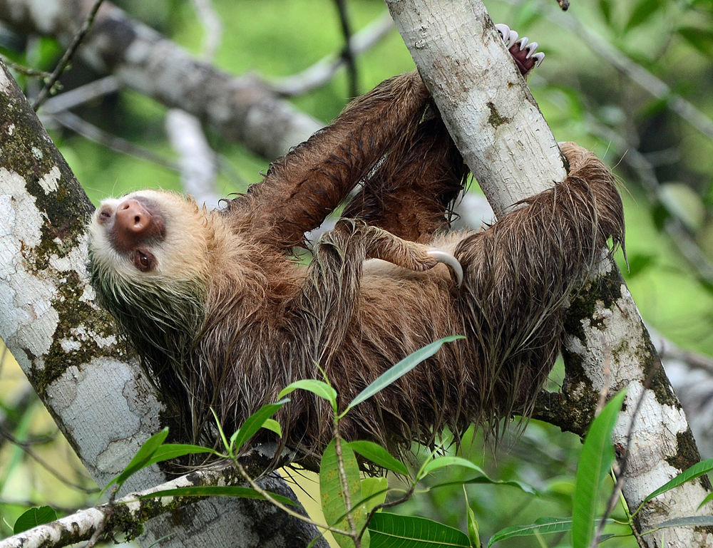 The average adult weight of a Hoffmann's two-toed sloth is 5.7 kg (12.57 lbs)