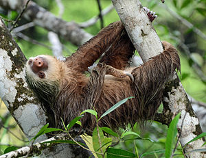 Xenarthra - Hoffmann's two-toed sloth (Choloepus hoffmanni)