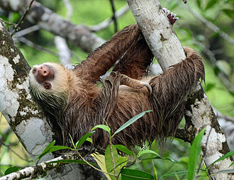 Hoffmann's two-toed sloth - At La Selva Biological Station, Sarapiqui, Costa Rica.